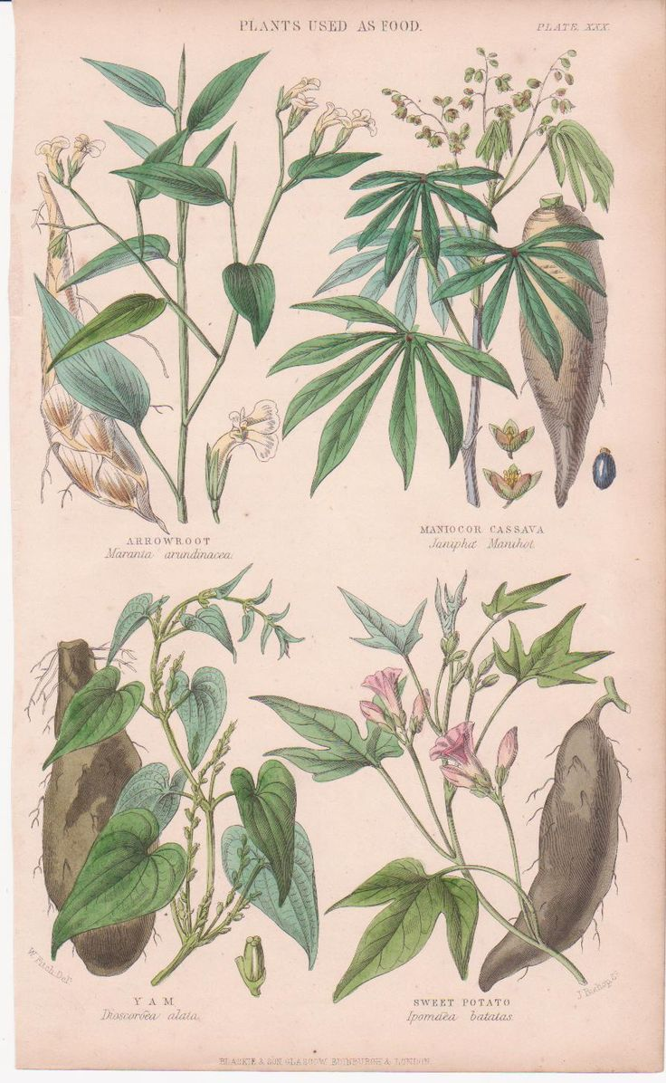 Garden adventures white turmeric curcuma zedoaria - Arrowroot Manico Cassava Yam Sweet Potato Plants Used As Food From Vegetable