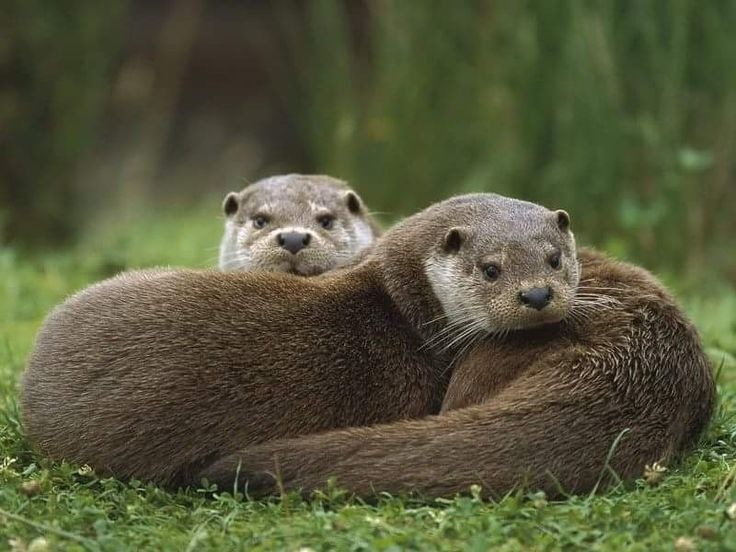 Otters are eyeing the camera with otter fascination!