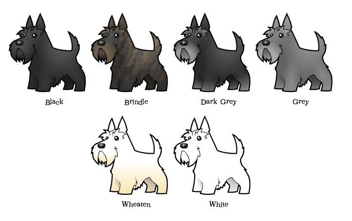 This is a fantastic chart that shows all the different colors a Scottish Terrier can be. (Mine are black and wheaten.)