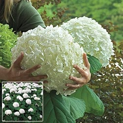 Hydrangea arborescens 'Abetwo' (Incrediball Hydrangea)