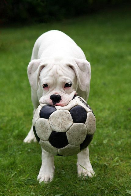 white boxer with soccer ball