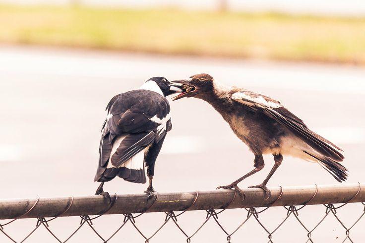 Australian Magpies - Brisbane, Australia - Zac Harney Photography