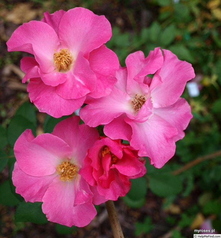 'RojUdoRdR' Rose Photo