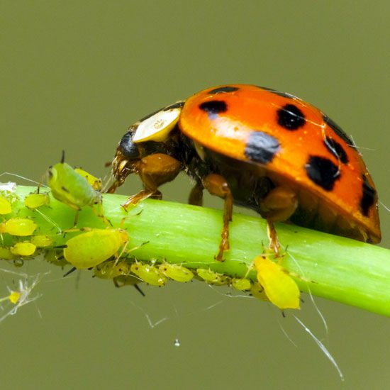 Purchase Live Ladybugs as beneficial predators for your garden
