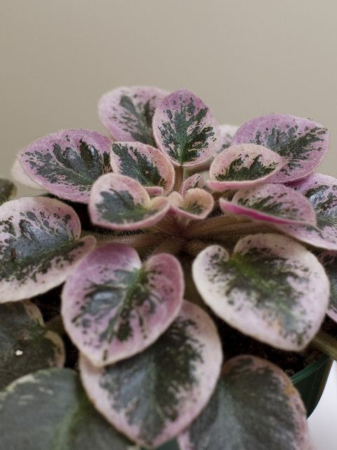 Variegated African Violet: Saintpaulia 'Shy Blue' [Family: Gesnariaceae] -  Flickr - Photo Sharing!