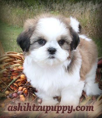 Illinois Shih Tzu Puppies for sale by Shih Tzu Breeder near Chicago