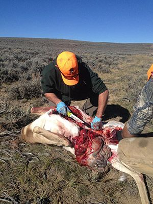 Kilimanjaro Hunting Knife in use in Jackso Hole, WY http://mtnweekly.com/sports/hunting/cuts-good-best-hunting-knives-money-can-buy