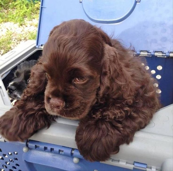 Candys cockers in florida find your cocker spaniel