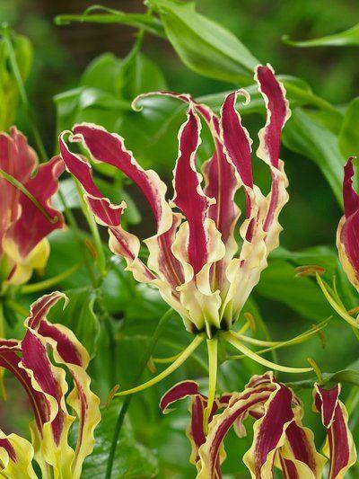 Gloriosa Lily, Climbing Lily, Flame Lily  Gloriosa superba
