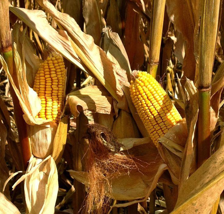 Corn High Yield Checklist