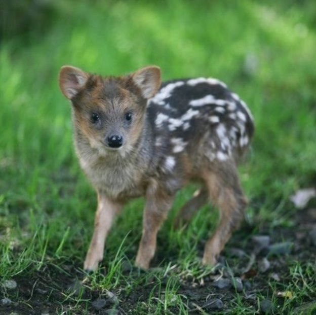 It's a pudu. The worlds smallest deer. I want him!