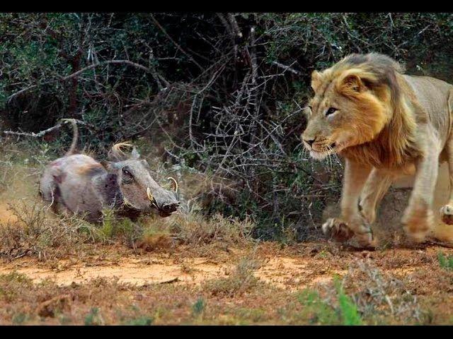 Predadores Letais - Caçadores em Grupos