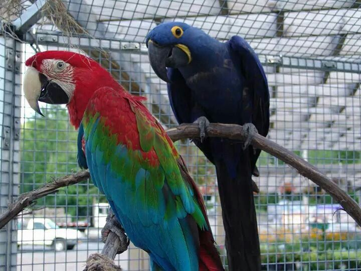 pin blue macaw bird - photo #6
