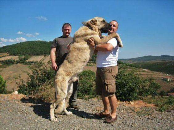 Anatolian Shepherd: Kangal