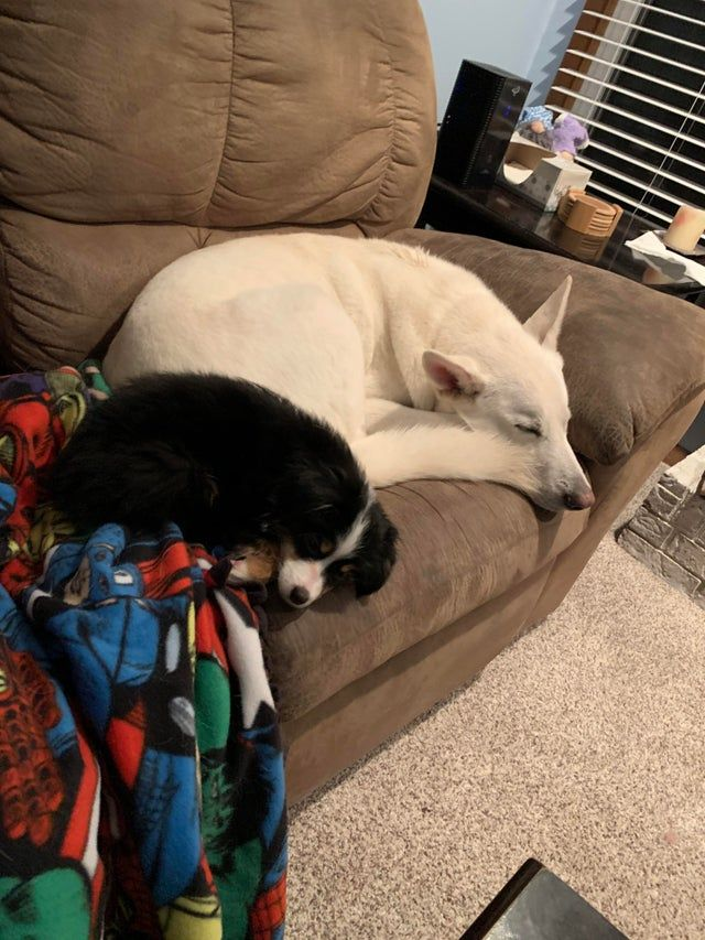 My White German Shepherd Service Dog Has Been An Only Child For 4 Years So We Brought Home A Toy Australian Shephe In 2020 Toy Australian Shepherd Service Dogs Dogs