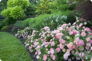 Drift® Roses really don't require much care at all. They are easy to grow and will flourish in most any conditions. You can pretty much leave them alone and they will look outstanding.