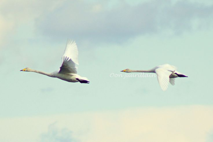 Joutsene / Swans