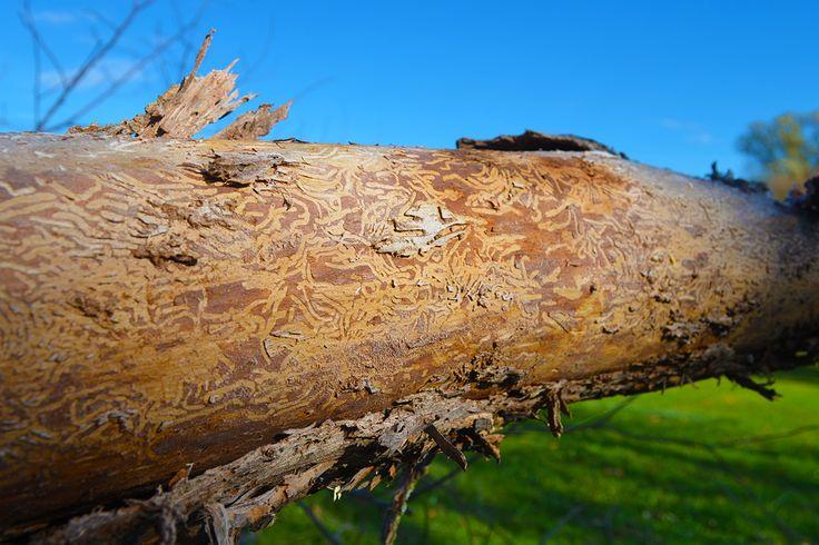 Beetle damage - the vector for Dutch elm disease #vtelm