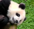 Support the Bamboo Challenge Grant! - Pandas - explore#!/videos/player/support-the-bamboo-challenge-grant