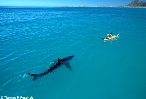 Great White Shark stalks ocean canoeist: Great White Sharks, Southafrica, Kayaks, The Ocean, South Africa, Sharks Week, Paddles Faster, Photo, Animal