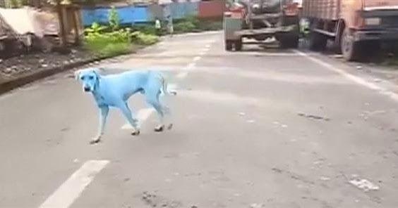 Πανικός στο διαδίκτυο έχουν προκαλέσει τα μπλε αδέσποτα σκυλιά της Ινδίας! (ΒΙΝΤΕΟ)