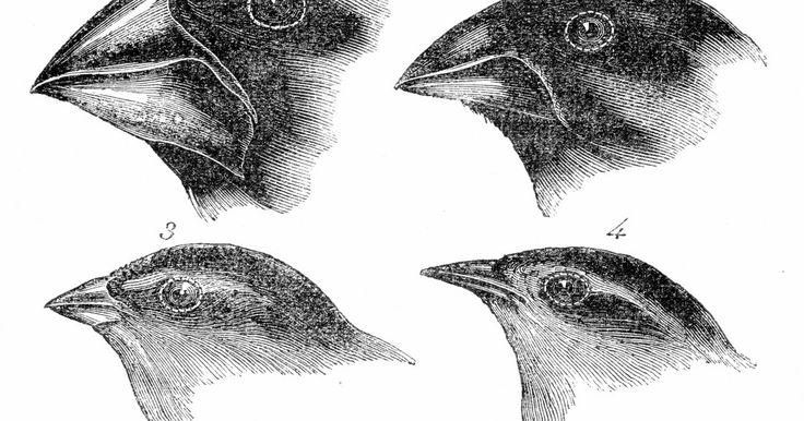 ¿Qué comen los pinzones carpinteros?. Los pinzones carpinteros (camarhynchus pallidus) se encuentran exclusivamente en las Islas Galápagos, ubicadas en el Océano Pacífico, la costa de Ecuador. Los animales que viven en las Islas Galápagos han evolucionado para sobrevivir en hábitats especializados y para acceder a fuentes de alimentos limitadas. Se llaman así porque se alimentan de ...