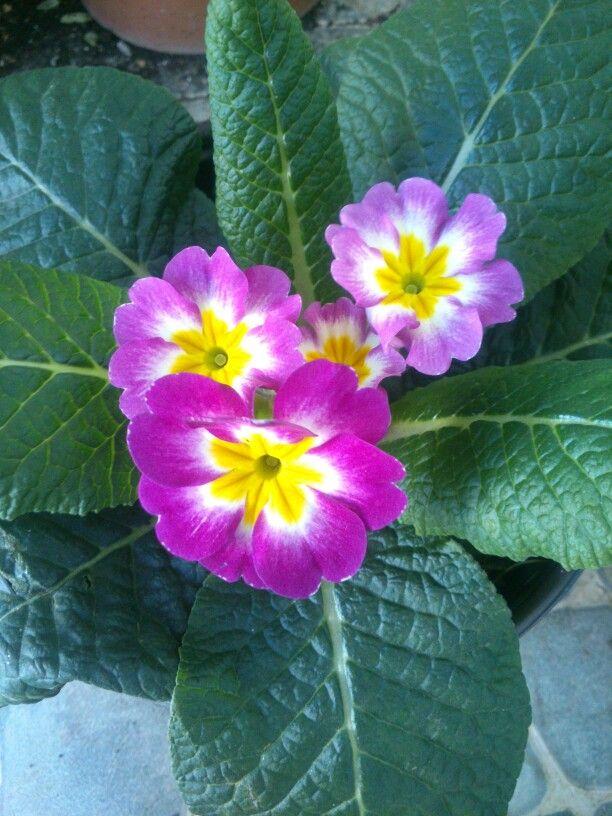 Primula planta de sombra medio sol riego dos veces por - Flores de sombra ...