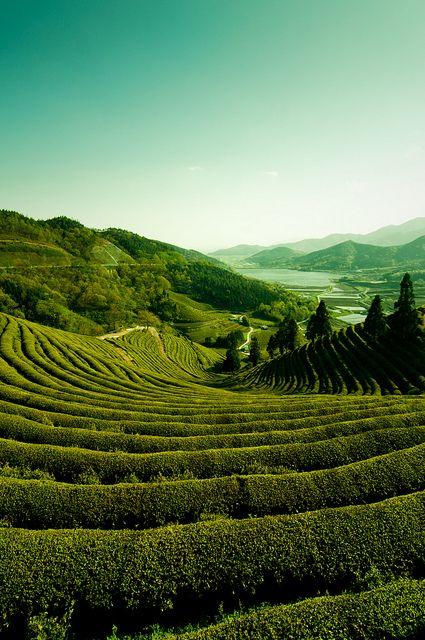 Boseong Green Tea Plantation in Jeollanam-do, South Korea