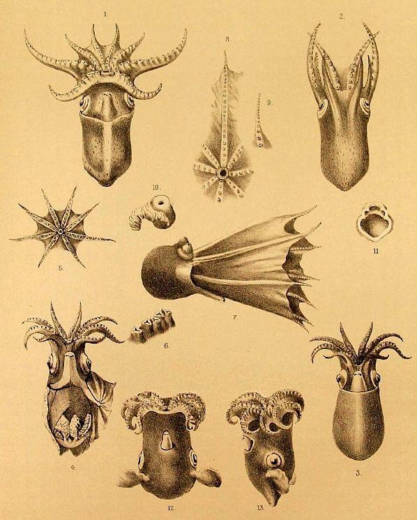 """magictransistor: """"Ernst Haeckel, Cephalopoda: Kunstformen der Natur (Collected on Oceanic Islands during the voyage of H.M.S. Challenger), 1873-1876. """""""