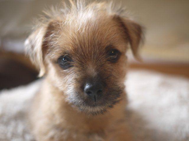 Norfolk Terrier Puppy- Looks alot like my new sweet little ball of lightning!