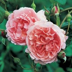 Rose Strawberry Hill (Ausrimini).  Particularly strong fragrance, award-winning, vigorous growth with glossy dark green foliage.  For rear of border.  Also climbing rose