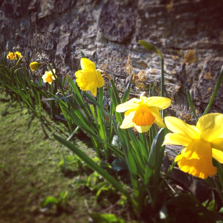 Daffodils, Cornwall