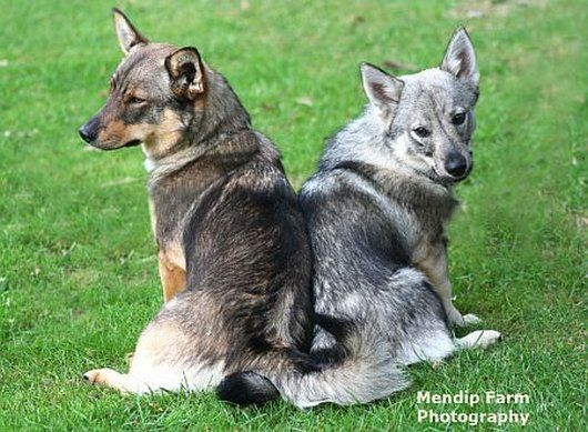 Swedish Vallhunds aka Wolf Corgis