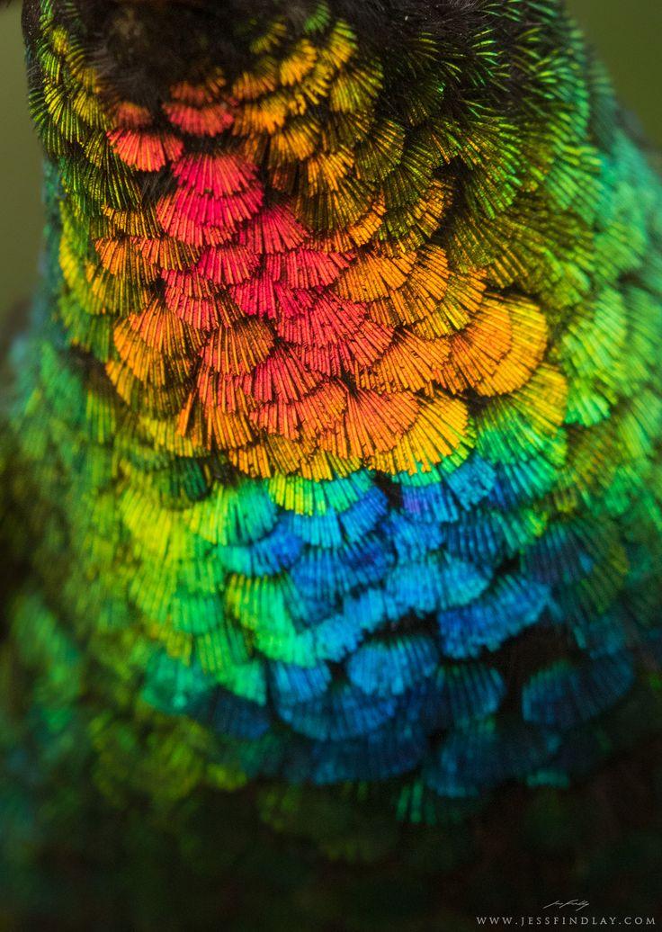 Um close espetacular de um beija-flor raro da Costa Rica