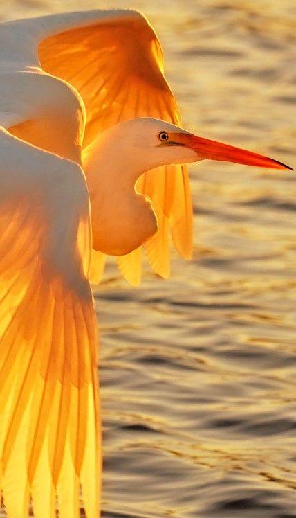 Egret's sunset wings of fire • photo: Graham Owen