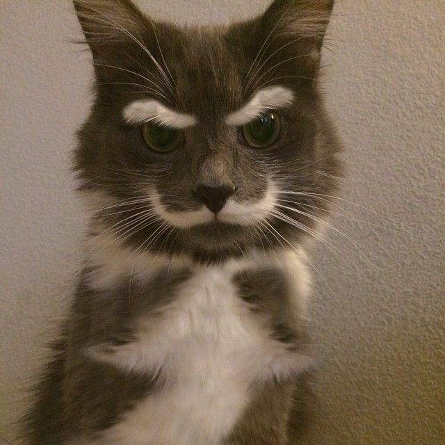 Cat with thick white eyebrows and mustache.