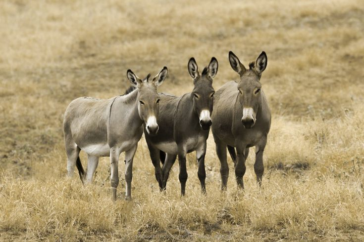 """El Trio"" by AniGold, donkey, nature, wildlife, photography"