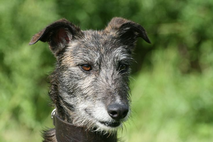 rough coated lurcher