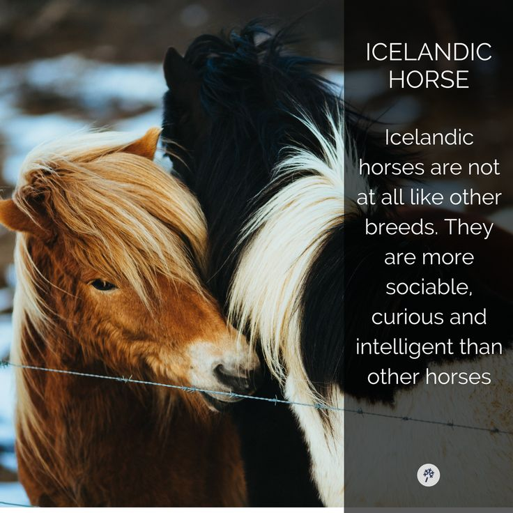 Cute but majestic! #Icelandic Horses