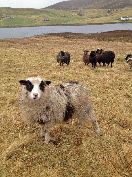 Shetland Sheep. Bleating fabulous.