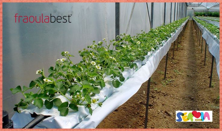 FraoulaBest System in Serbia | FraoulaBest© System (Hydroponic Strawberry)