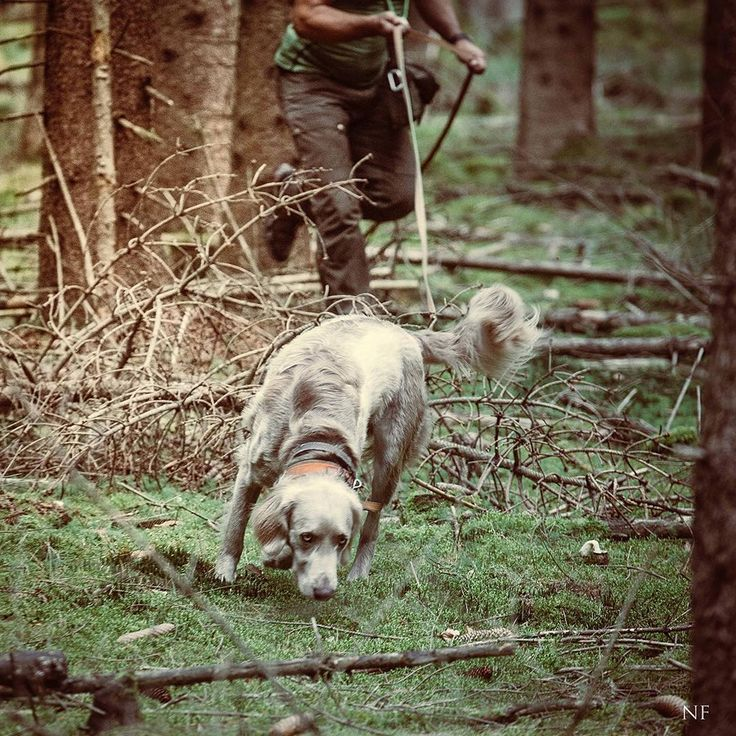 Weimaraner blood tracking a boar in Bavaria. . . . #dog #dogsofinstagram #dogs #dogstagram #dogoftheday #doglove #dogofinstagram #instahunt #conservation #wildlifeconservation #huntingdog #countrylife #huntinglife #hunt #hunting #hunter #nature #weimarane http://riflescopescenter.com/rifle-scope-reviews/
