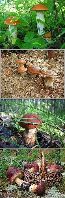 Как вырастить лесные грибы на даче? Советы бывалых.