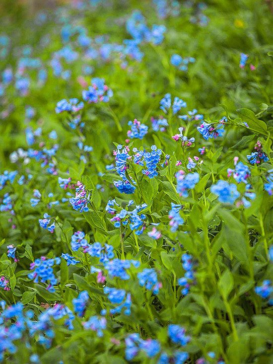 17 best ideas about blue flowers on pinterest pretty for Pretty low maintenance flowers