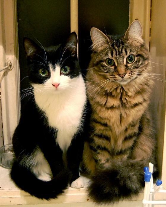 cute foster kitten mia feral tuxedo cat