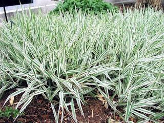 Új cikk: Csíkos pántlikafű, http://kertinfo.hu/csikos-pantlikafu/, ezekben a témakörökben:  #Csíkospántlikafű #díszfű #Phalarisarundinaceae'Picta', írta: Kertmanufaktúra Blog