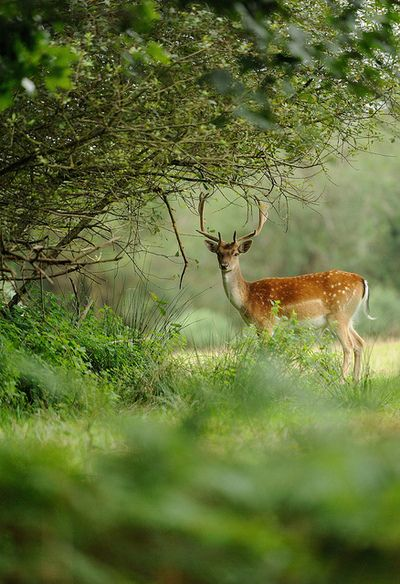 jaws-and-claws:  Fallow Deer Buck by Benjamin Joseph Andrew on Flickr.