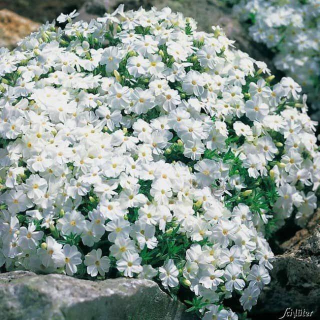 Was für eine vielseitige Staude. Der weiße Polsterphlox hat keine hohen Ansprüche an den Boden und ist deshalb an vielen Orten einsetzbar, wie zum Beispiel in Steingärten oder sogar in Mauerritzen. Im Winter bleibt der winterharte Polsterphlox belaubt, das filigrane Blattwerk verfärbt sich dabei bräunlich.Der weiße Polsterphlox wirkt besonders hübsch vor Hauswänden oder auch zwischen dunkleren Pflanzen im Steingarten. Auch in Kombination mit anderen Polsterphlox-Farben, bietet die weiße…