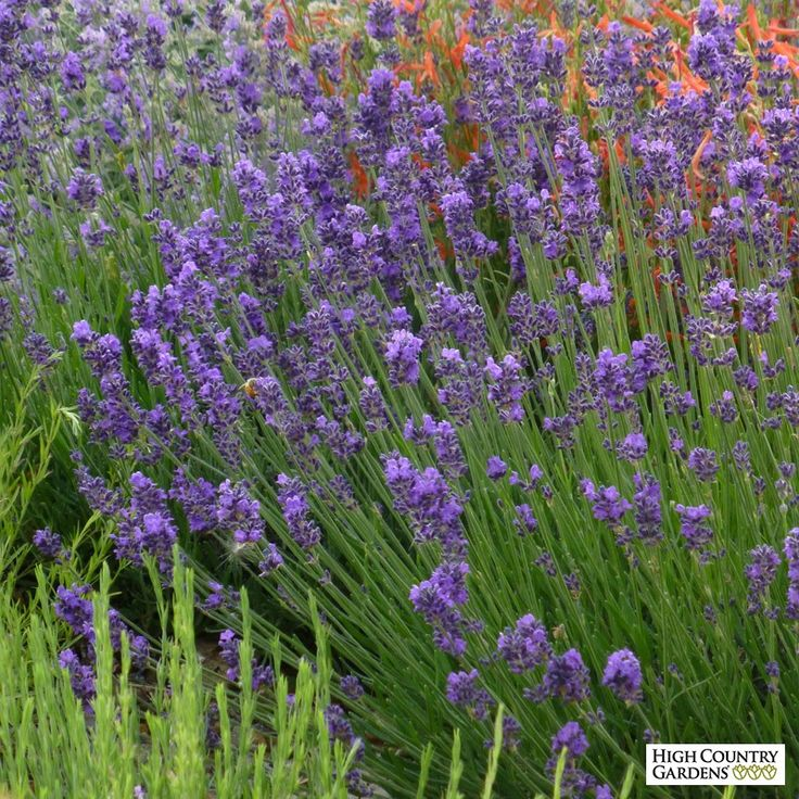 Exclusive. This new selection of Lavender has some of the darkest colored flowers you'll ever see. Lavandula angustifolia 'Munstead Violet' (Munstead Violet English Lavender) has dark blue calyxes and outstanding violet-blue corollas over nice silver-gray foliage. Drought resistant/drought tolerant plant (xeric).