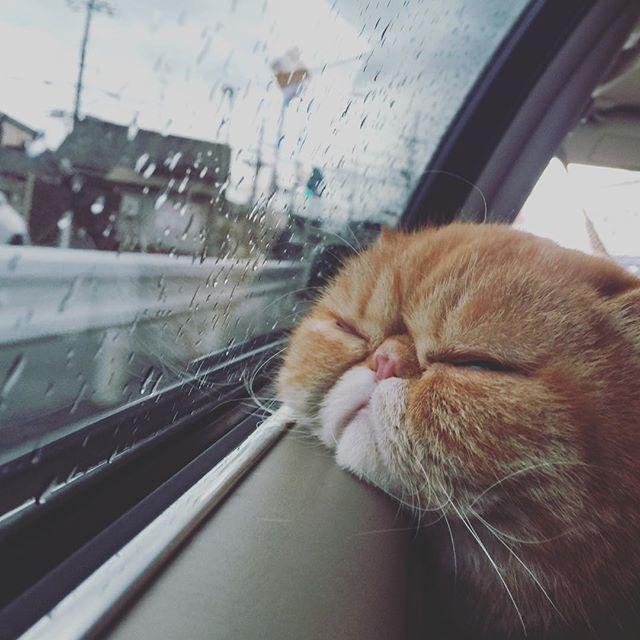 NOAH  帰りは寝る . . . .  #ノア坊ちゃま  #出稽古 #ふわもこ部#ねこ#猫#ネコ#きな粉餅部屋#もふもふ#エキゾチックショートヘア #ねこ部#にゃんだふるらいふ#ig_japan #igersjp #instagood#instacat#instacute#cat#catsofinstagram #catstagram #cats #catlover #ilovecats #mofmo#exoticshorthair#ガーフィールド#ドライブ#寝床byヒマラニャンズ